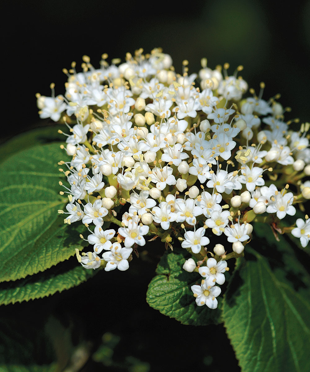 Softleaf Arrowwood Viburnum