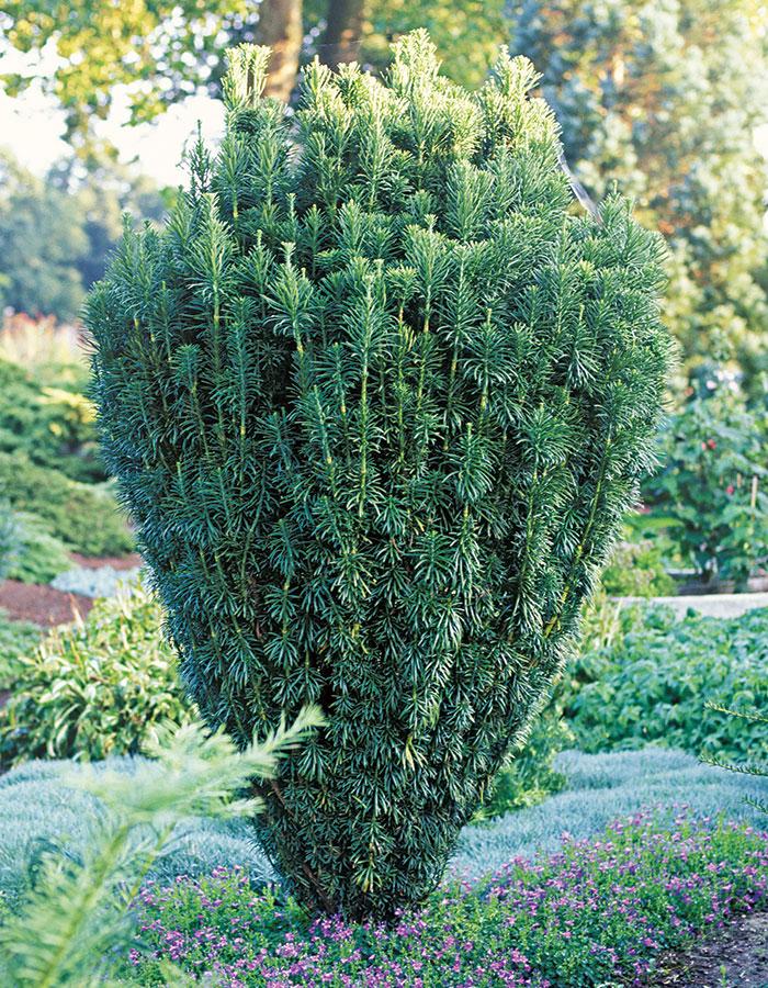 Japanese Plum Yew