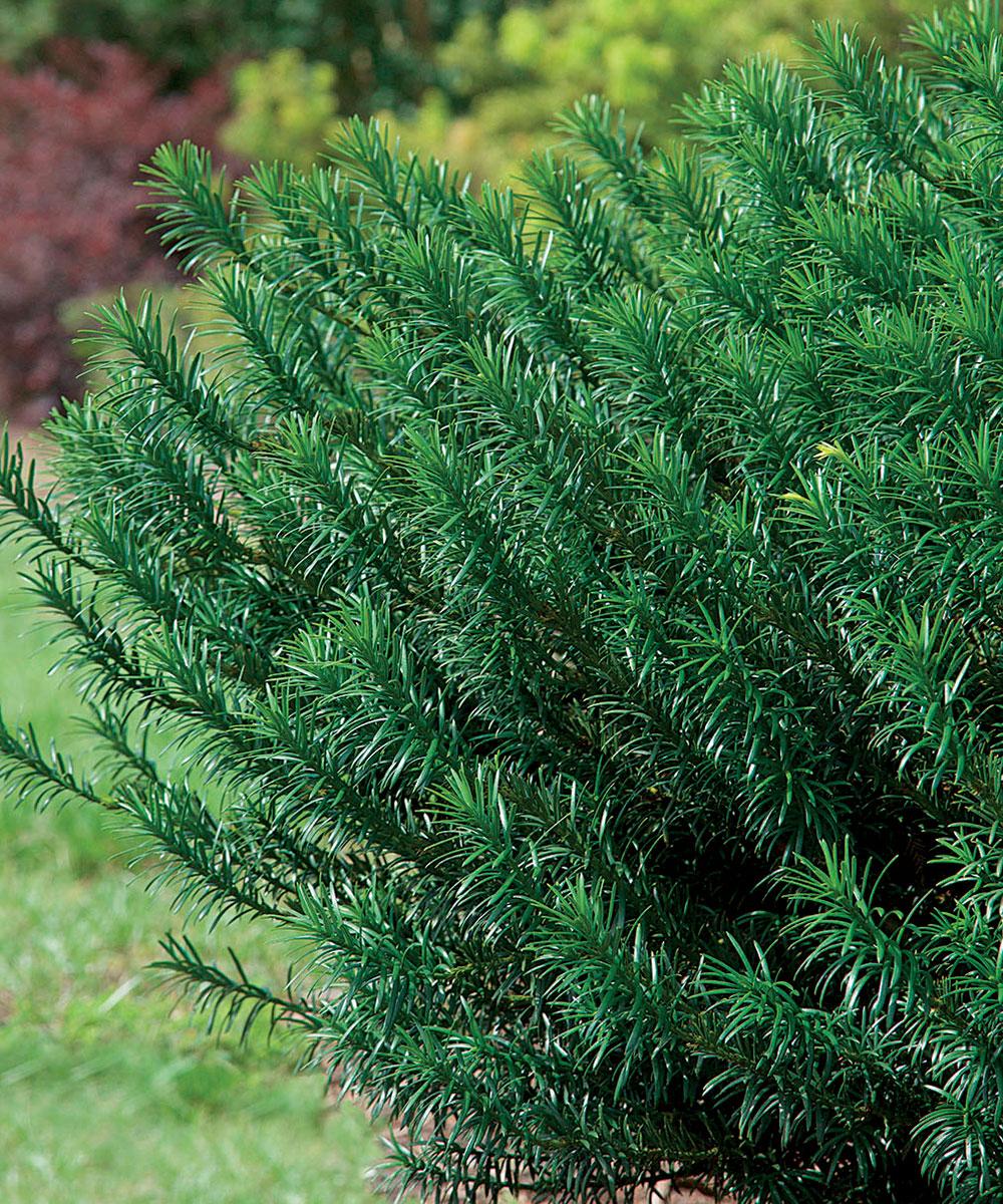 Yewtopia Plum Yew