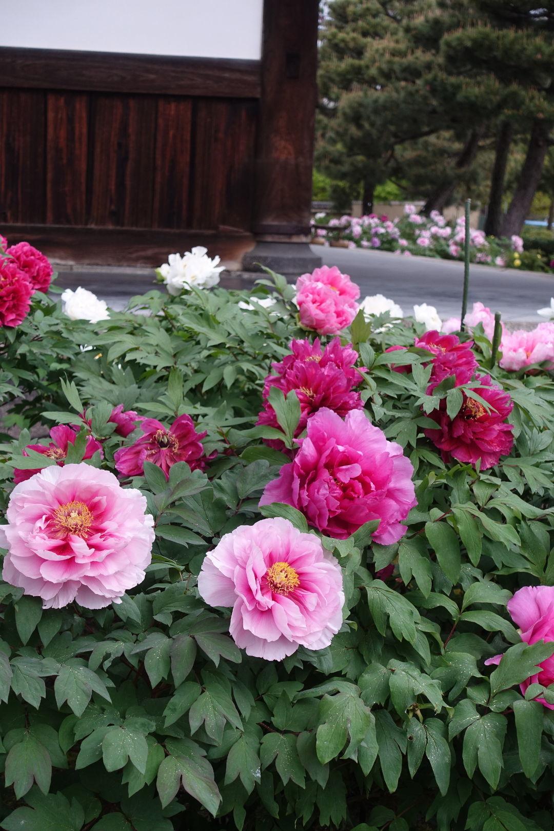 Peonies In Japan Finegardening