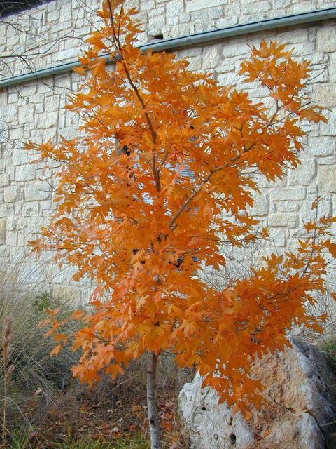 Acer grandidentatum, Zones 5-8