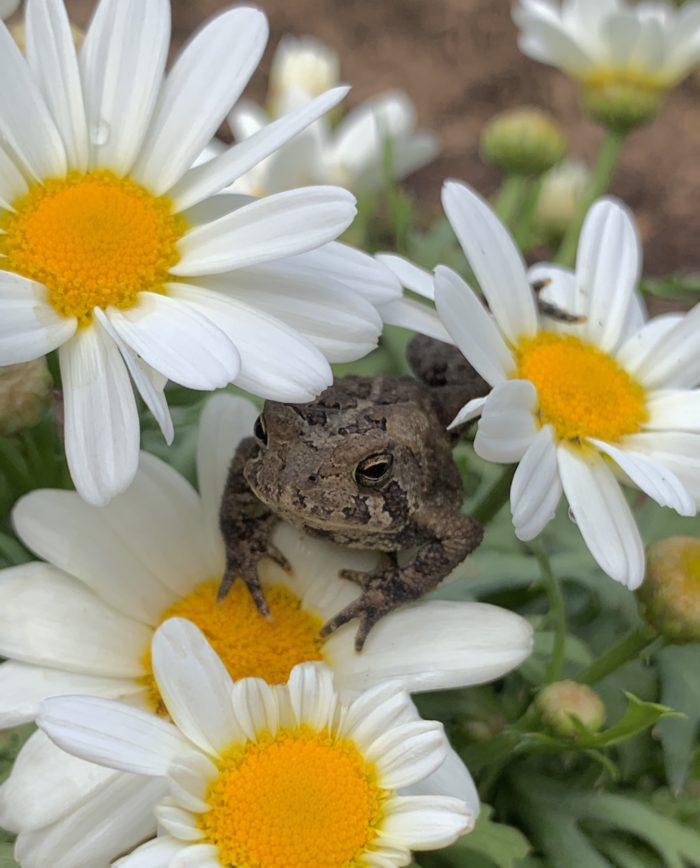 A Garden for Frogs, Toads, Bees, and Butterflies