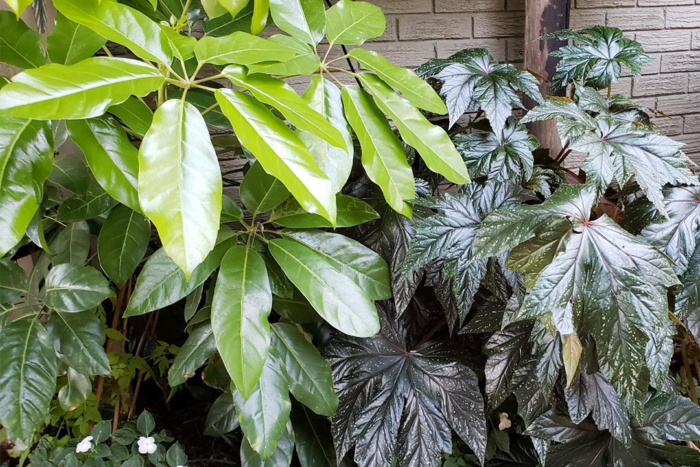 Umbrella plant and angel wing begonia