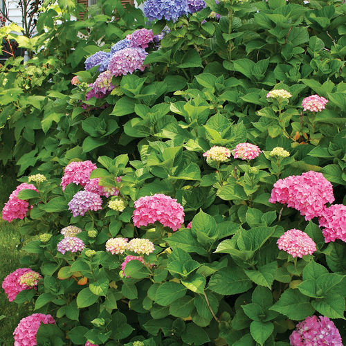 big leaf hydrangea with pink, purple, and blue flowers