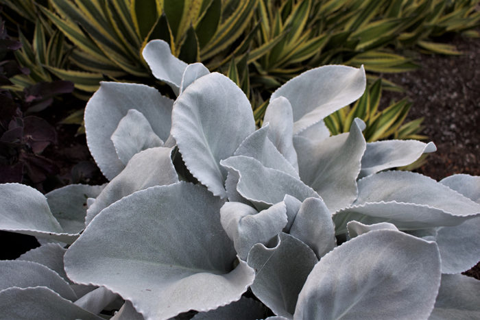 Angel Wings® dusty miller