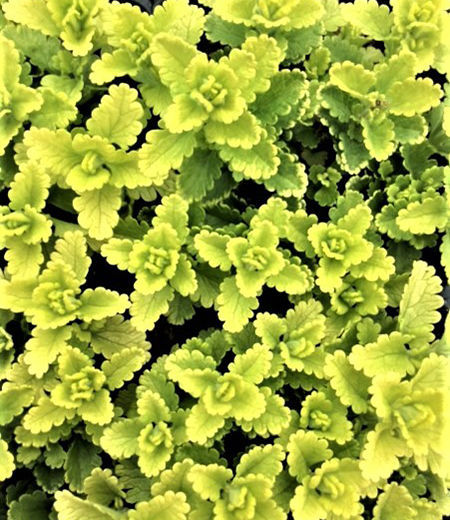 'Summer Sunshine' creeping germander