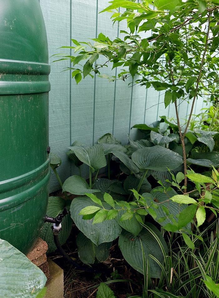 Rain Garden Design - Rain barrel with hosta