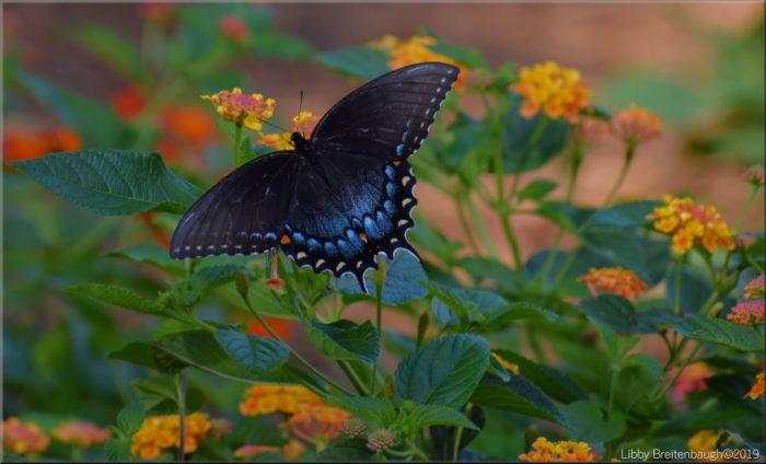 Backyard Butterfly Garden