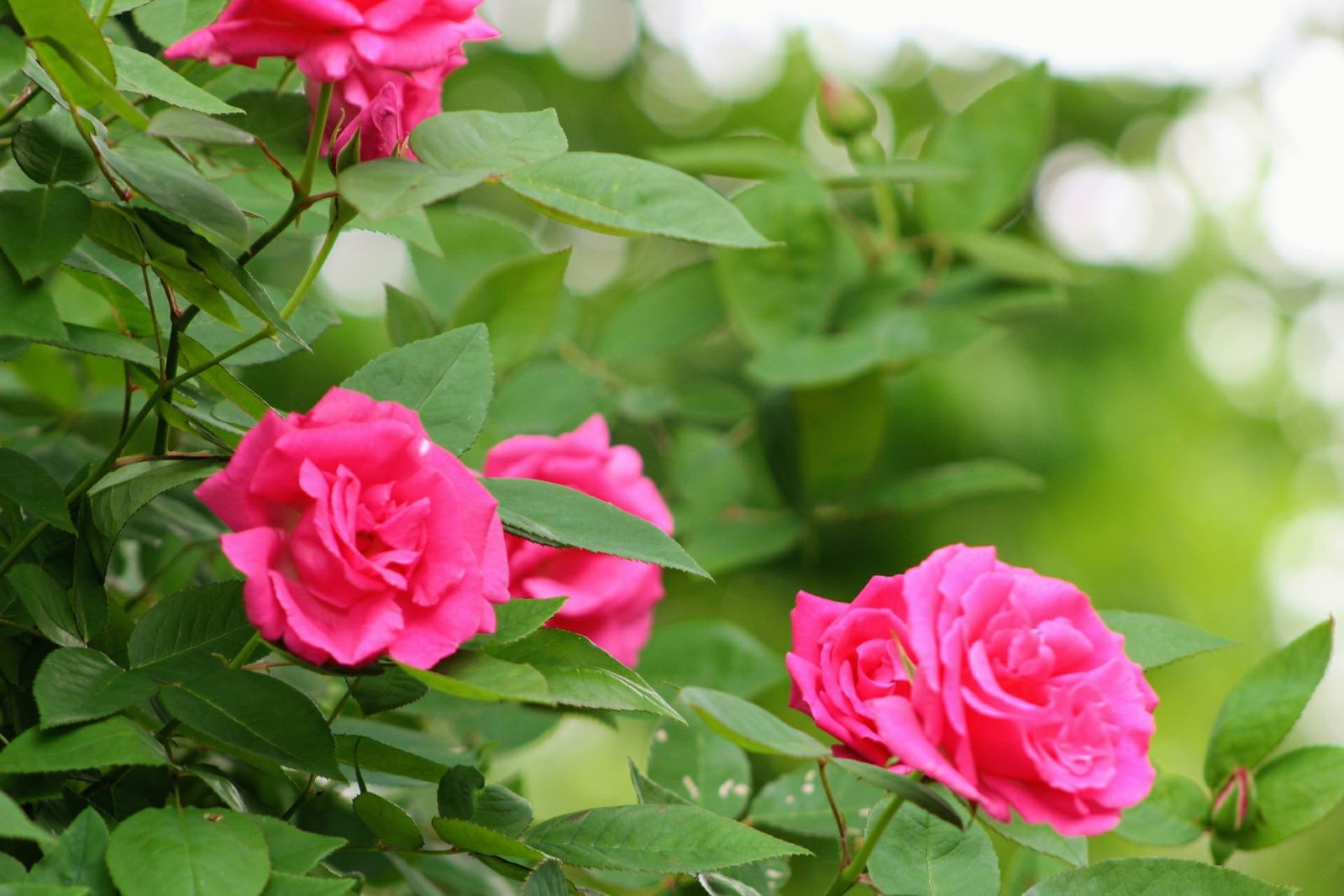 Zephirine Drouhin Climbing Rose a garden of roses - finegardening