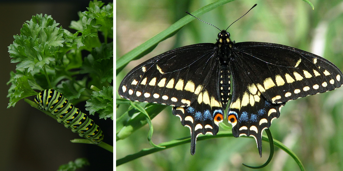 black swallowtail caterpillar and butterfly