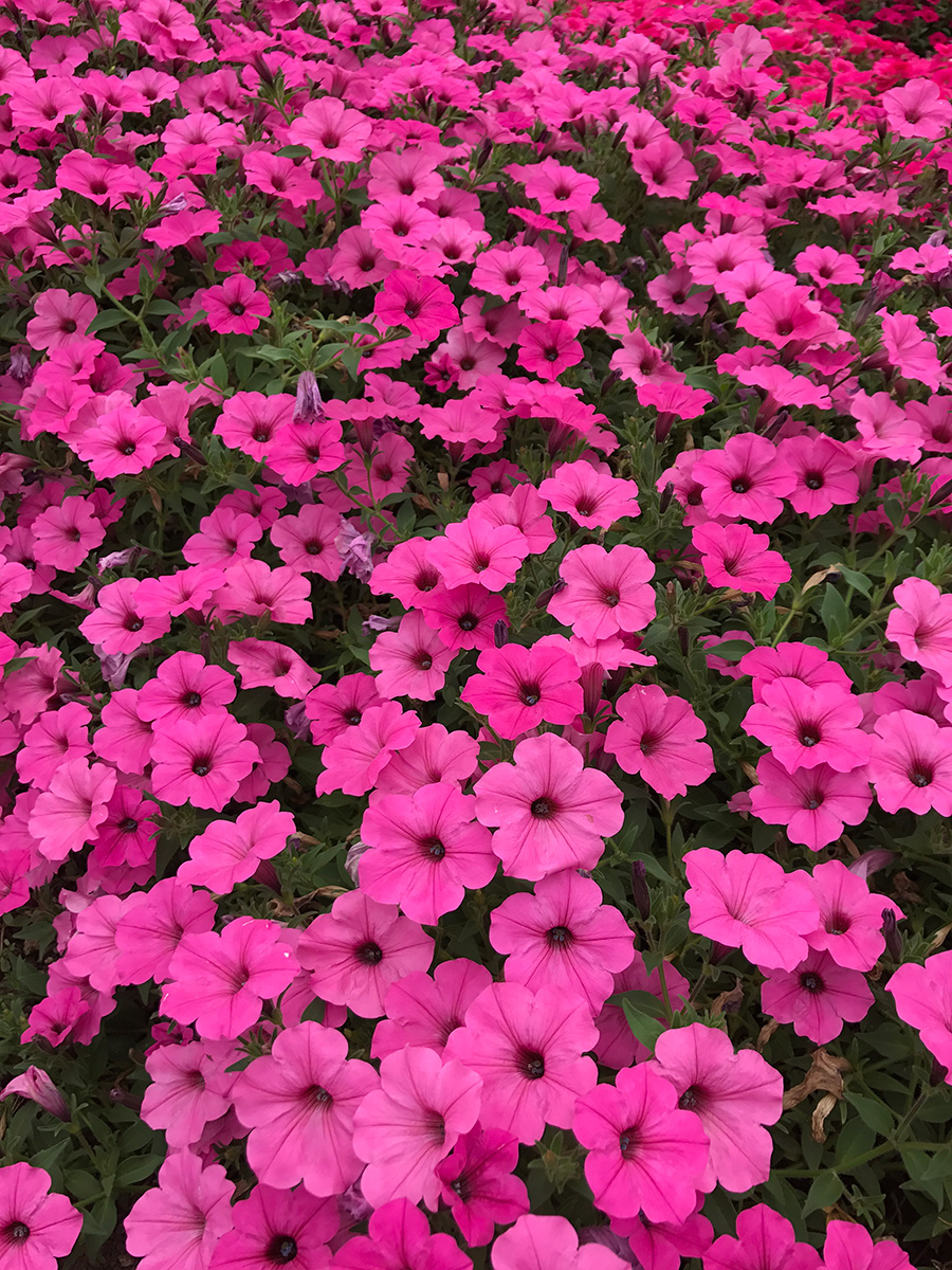 ColorRush Pink petunia