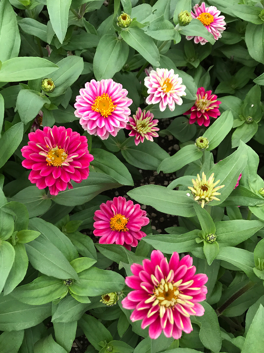 Double Zahara Raspberry Ripple zinnias