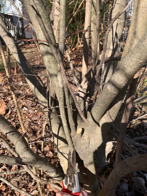 magnolia crossed branches