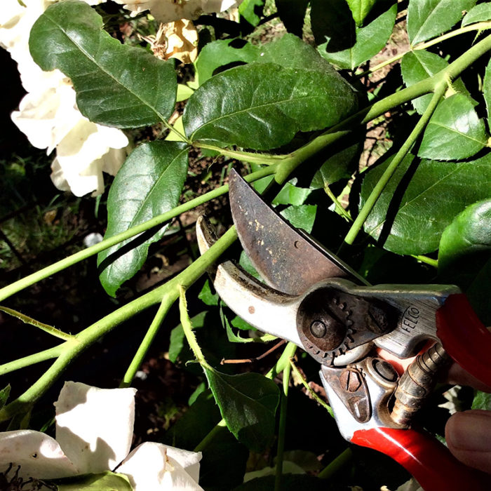 deadheading wilted roses