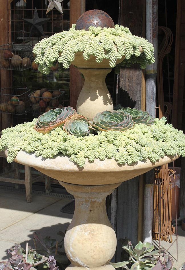 succulent fountain