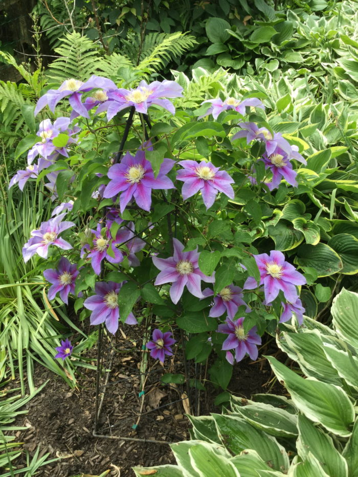 A Celebration of Clematis