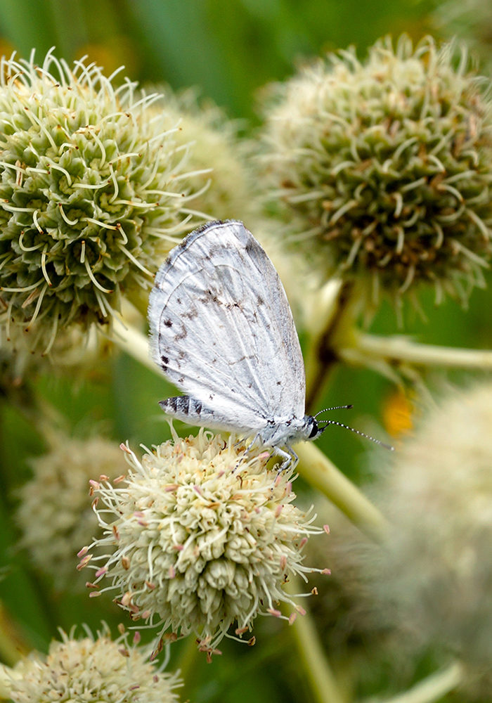 Summer azure butterfly on rattlesnake master
