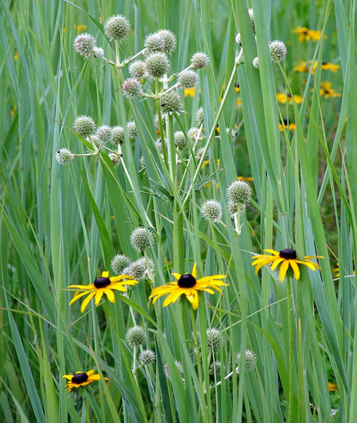 Rattlesnake master with black-eyed Susan