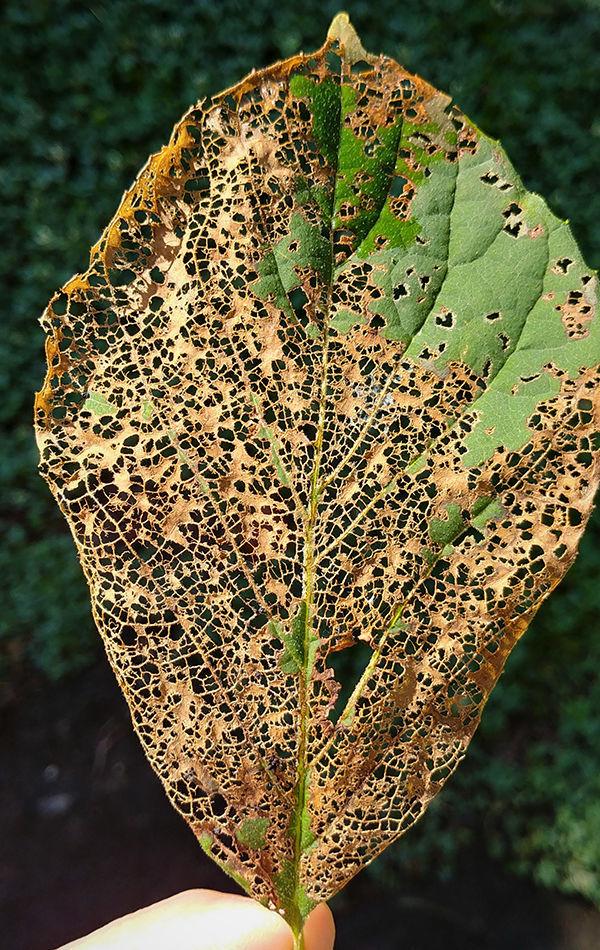 Japanese beetle damage of a leaf