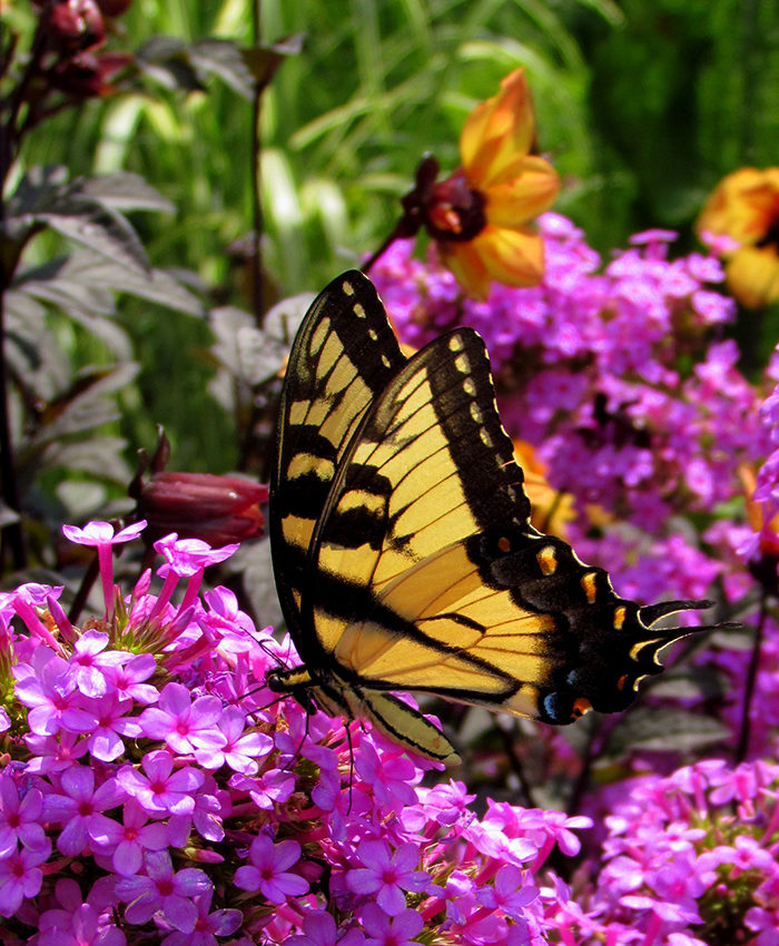 tiger swallowtail butterfly sips from a 'Jeana' garden phlox
