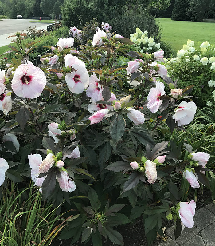 'Mocha Moon' rose mallow