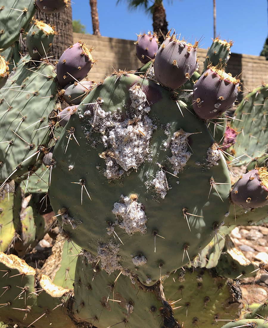 cochineal scale