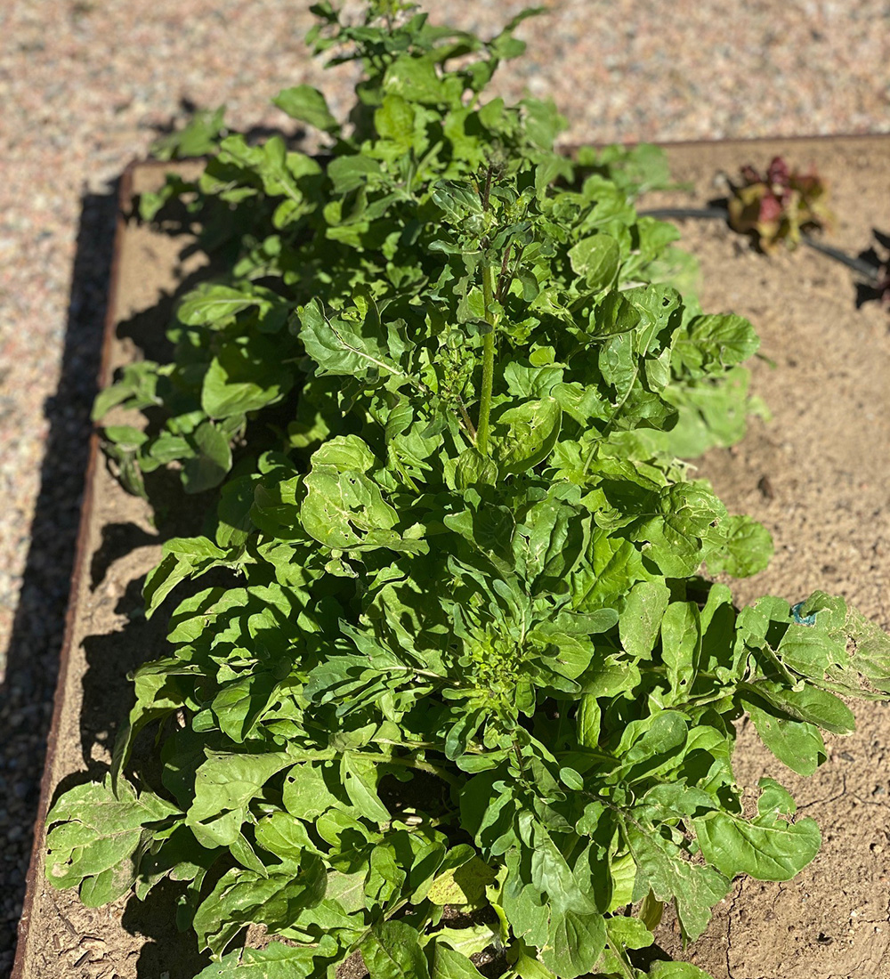 arugula going to seed