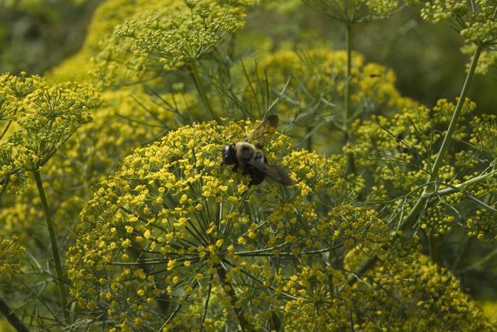bumblebee on dill plant