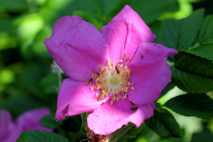 Syrphid flies pollinate a beach rose