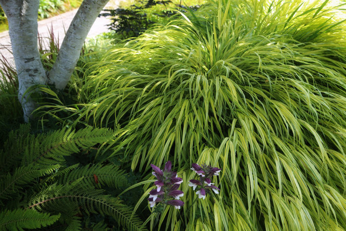 'Aureola' Japanese forest grass