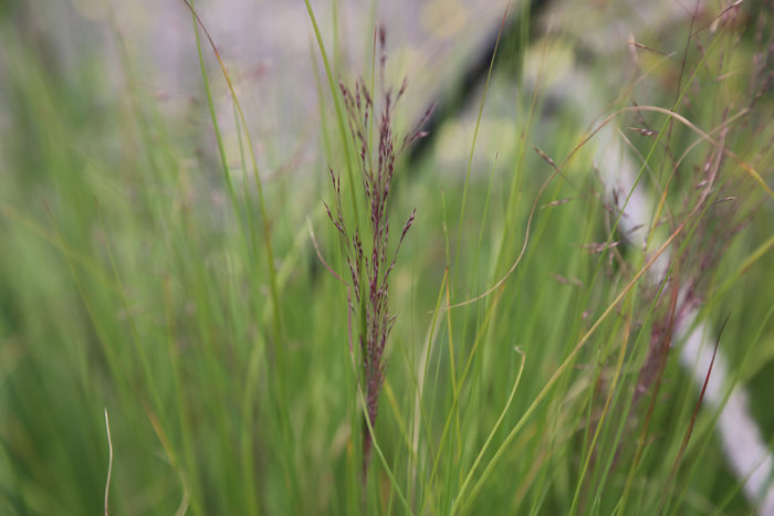 Red panicle of Undaunted® ruby muhly grass