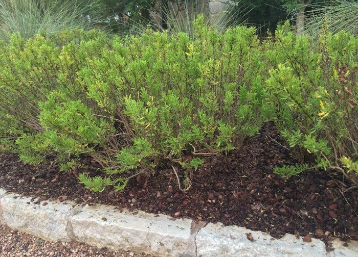 Mulched Salvia Greggii
