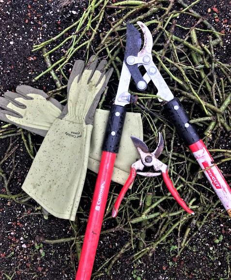 rose pruning essentials