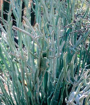 Slipper Plant
