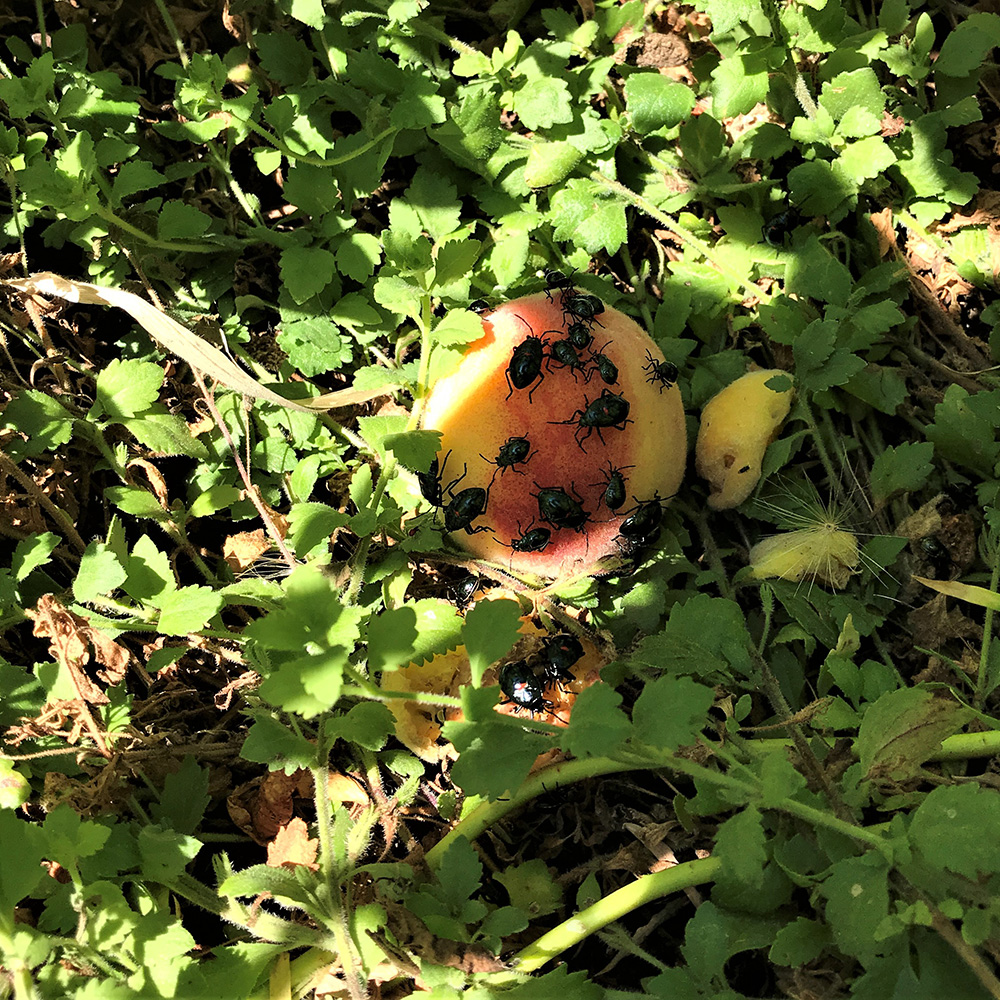 downed fruit