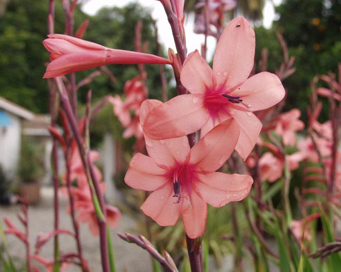 'Flamboyant' rose bugle lily.