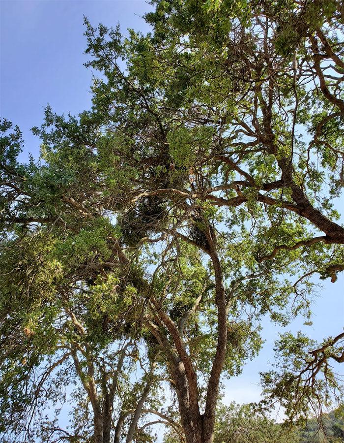 oak trees infested with mistletoe