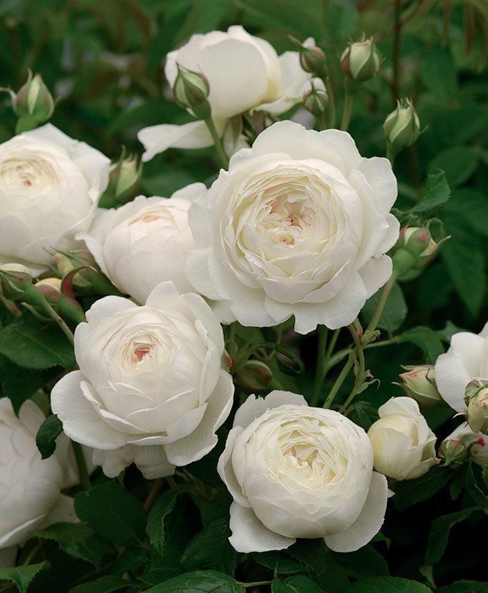 'Claire Austin' rose