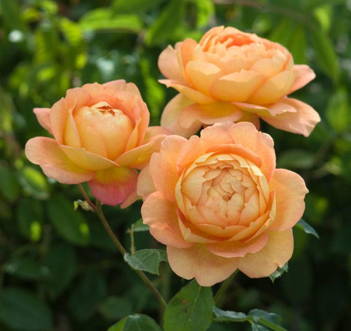'Lady of Shalott' rose