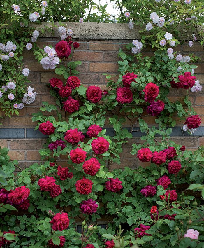 'Tess of the D'Ubervilles' rose