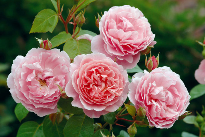 'Strawberry Hill' rose