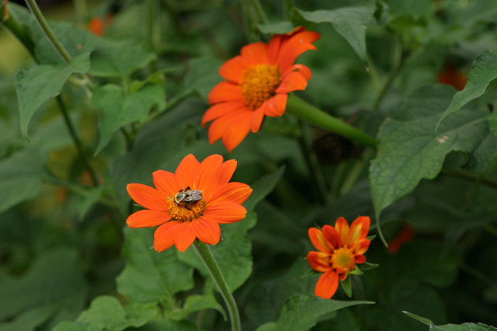 'Torch' Mexican sunflower
