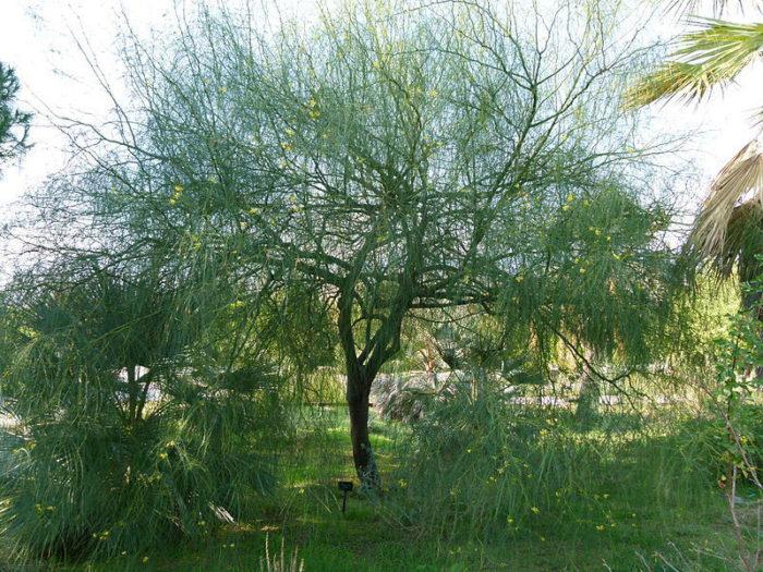 Mexican palo verde