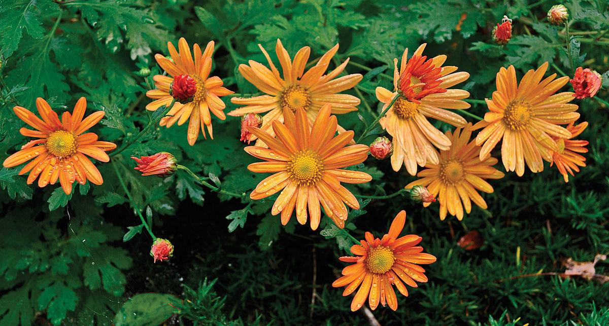 'Bolero' garden mum