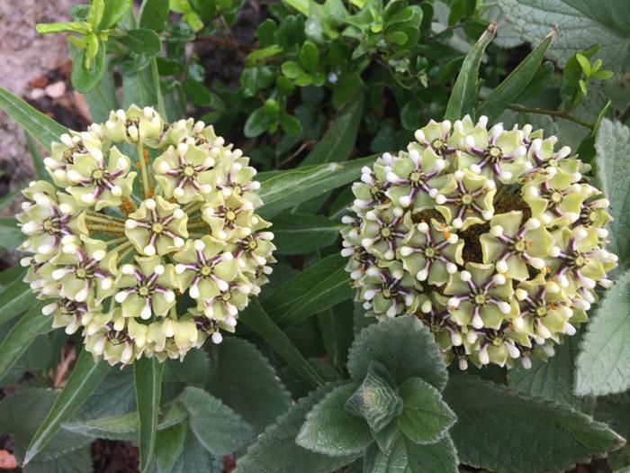 Antelope-horn milkweed