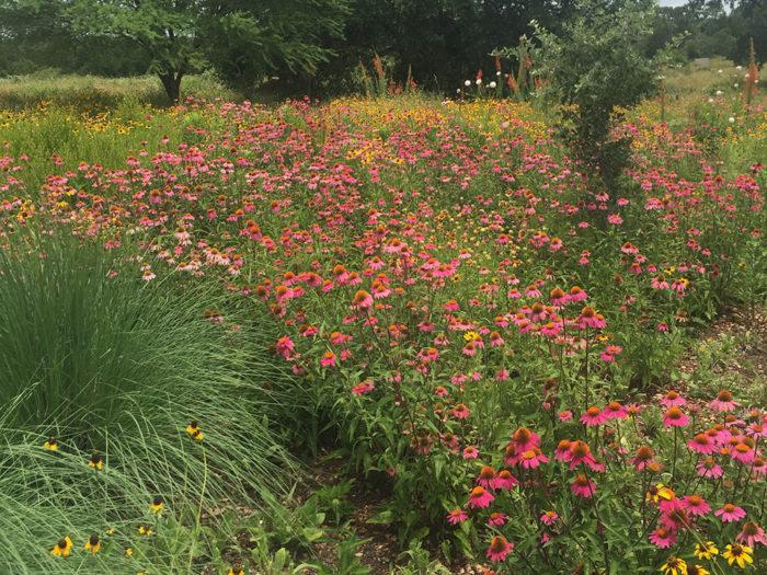 purple coneflowers and gloriosa daisies