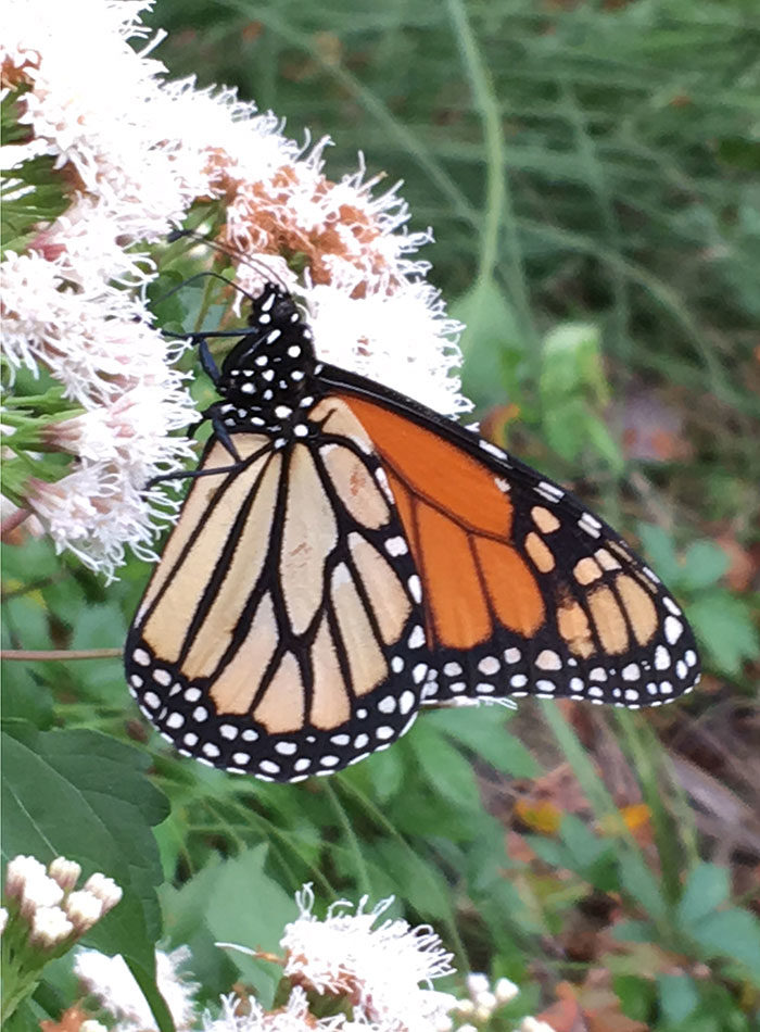 monarch butterfly on shrubby boneset