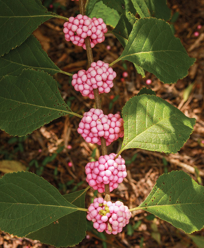 'Welch's Pink' American beautyberry