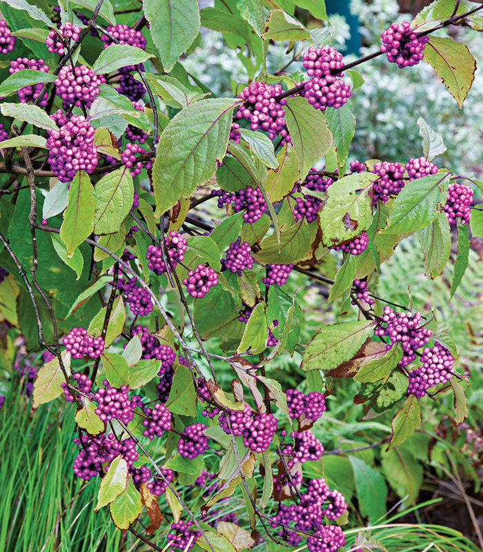 'Profusion' Bodinier beautyberry
