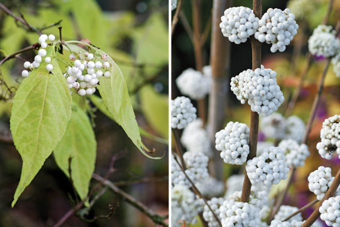White fruited beautyberry and The Plump and Plentiful™ Snow Star